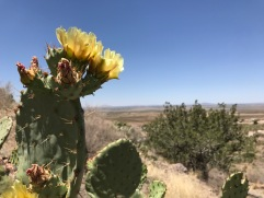 A nopal cactus blossoms in the hillsides where my father fell in love with geology. Rockhound State Park, NM. May 2018.