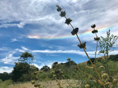 An uncommon sunbow swoops upward in the background of dried pennyroyals at Fort Ord National Monument in Toro, CA. June 25, 2019.